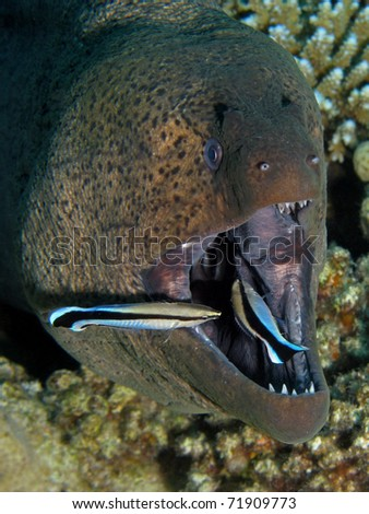 Portrait of a Giant Moray - Gymnothorax javanicus being cleaned by Bluestreak Cleaner Wrasse - Labroides dimidiatus