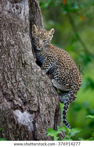 Portrait of a Leopard cub (two month) on his tree hole in Masai Mara, Kenya. Mother: Leopard Bahati