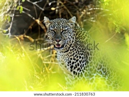 Portrait of a Leopard in the wild habitat