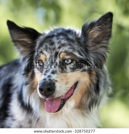 Portrait of a Miniature Australian Shepherd