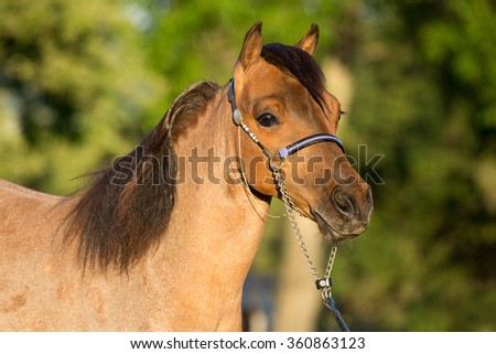 Portrait of a nice American Miniature Horse stallion