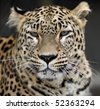 Portrait of a phlegmatic leopard - stock photo