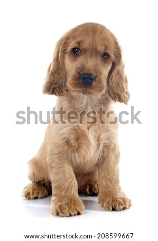 portrait of a  purebred puppy english cocker in a studio