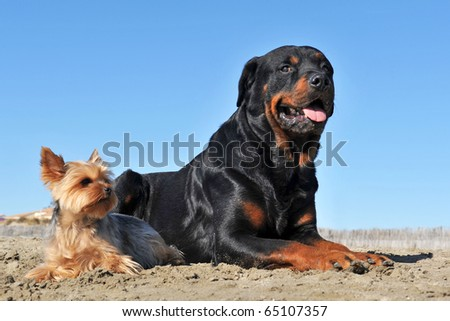 portrait of a purebred rottweiler and a yorkshire terrier on the beach
