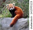 Portrait of a Red Panda. - stock photo