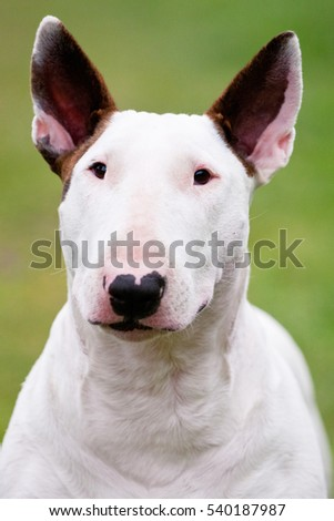 portrait of a white terrier with brindle ears