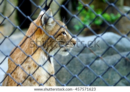 Portrait of a wild lynx in the profile of the lattice fence.
