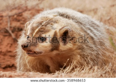 Portrait of American badger (Taxidea taxus)