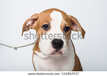 Portrait of american staffordshire terrier isolated on white background