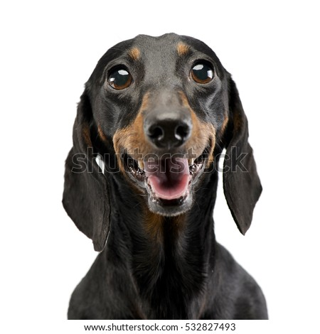 Portrait of an adorable short haired Dachshund, studio shot, isolated on white.