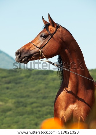 portrait of bay beautiful arabian stallion at mountain background