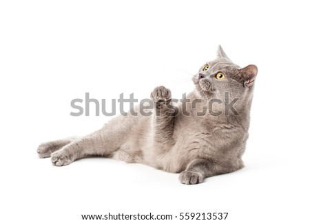 Portrait of british cat isolated on a white background