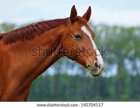 Portrait of  chestnut horse on a natural green background