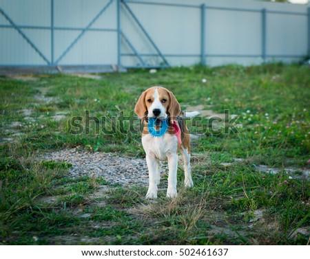 Portrait of cute beagle dog on green grass in the backyard