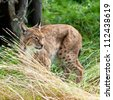 Portrait of Eurasian Lynx Prowling through Long Grass - stock photo