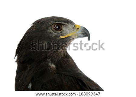 Portrait of falcon isolated on a white background