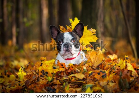 Portrait of french bulldog lying in leaves
