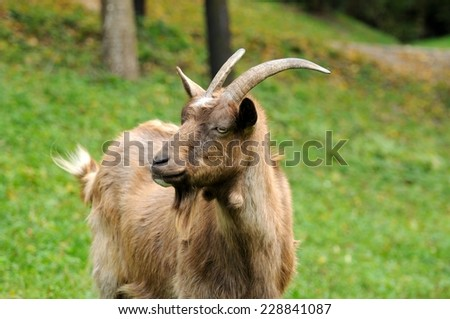 Portrait of goat on a background of green grass.