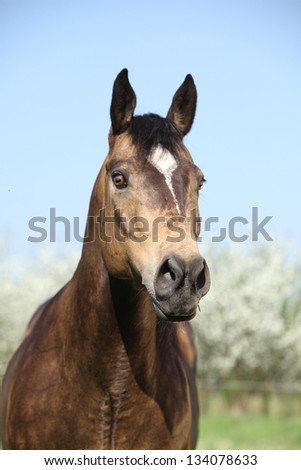 Portrait of gorgeous quarter horse with snake eye in front of flowering plum trees