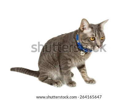 Portrait of gray-eyed cat isolated on white background