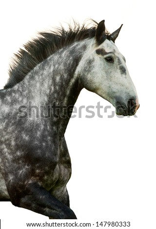 Portrait of grey galloping horse isolated - stock photo