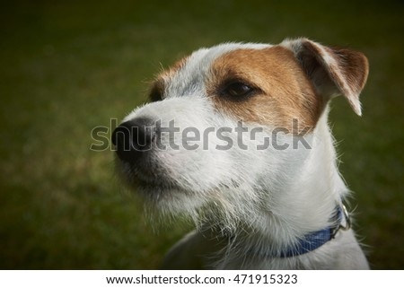 Portrait of Jack Russell Parson Terrier dog