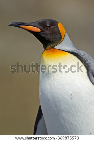 Portrait of king penguin with clean background, South Georgia Island, Antarctica