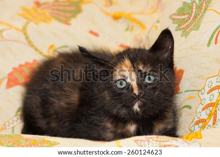 Portrait of kitten with blue eyes. Focus on the head of cat.