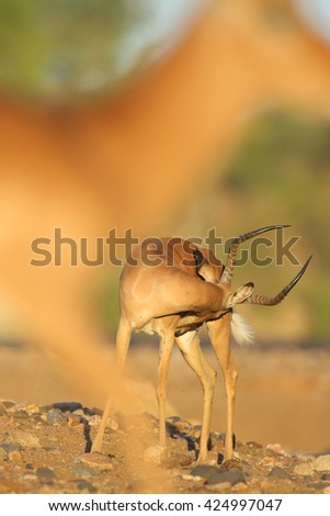Portrait of male impala antelope, Kruger National Park