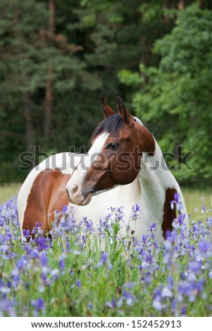 Portrait of nice paint horse in blooming meadow