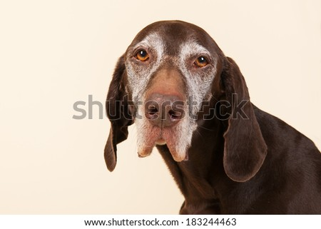 Portrait of old dog with white head on cream background