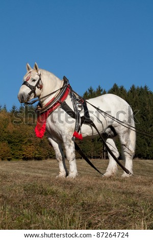 Portrait of Percheron stallion with a harness in the autumn land