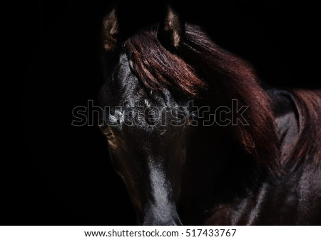 portrait of  purebred arabian black filly at black  background