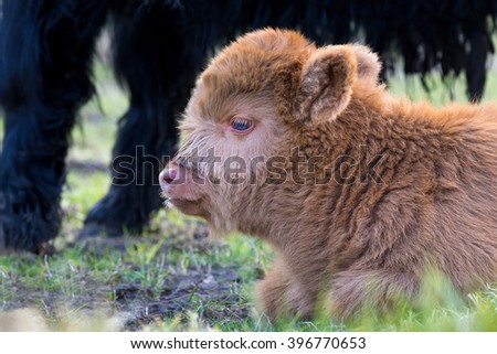 Portrait of resting Brown newborn scottish highlander calf
