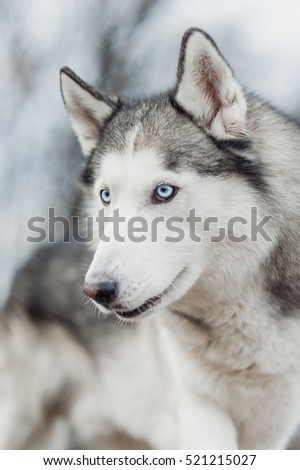 Portrait of Siberian Husky on background forest. Closeup.