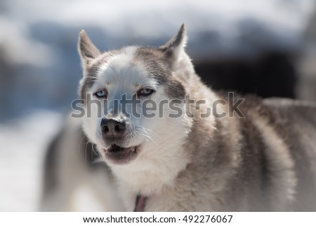 Portrait of siberian husky sled dog at snowy winter