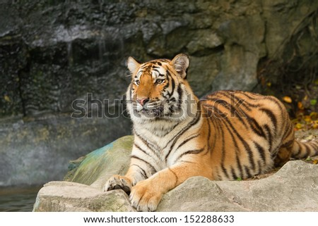 portrait of siberian tiger
