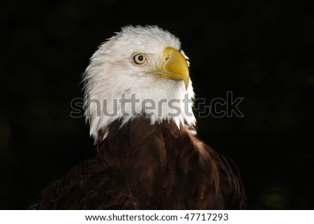 portrait of the American bald eagle on a dark background