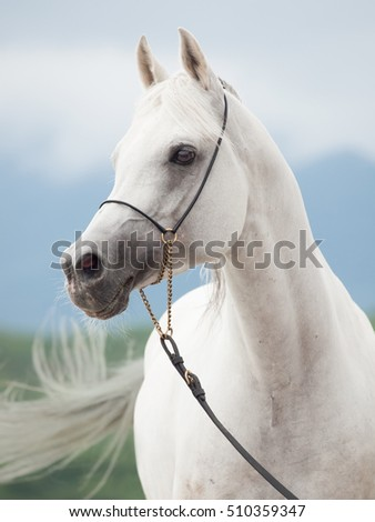 portrait of white amazing arabian stallion