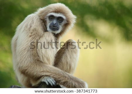 Portrait of White-handed gibbon(Hylobates lar)