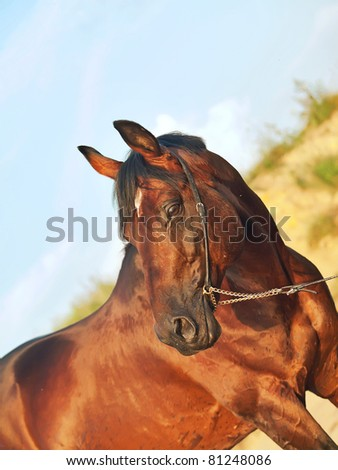 portrait of wonderful stallion