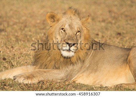 Portrait of Young Adult Male Lion in Repose