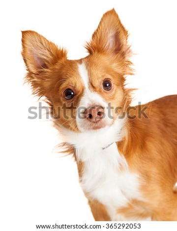 Portrait photo of a cute little brown color mixed breed dog