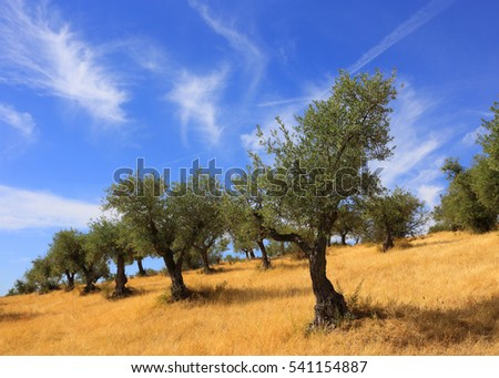 Portugal, Alentejo region. Olive grove and golden wild grass in the autumn sunshine with a beautiful blue sky and cirrus stratus clouds.