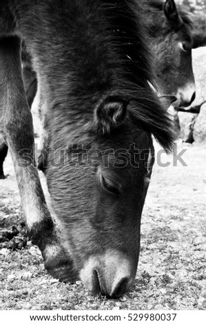 Portuguese Wild Horses in Portugal in Black and White