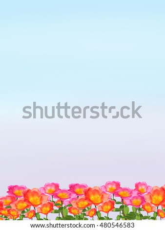 Portulaca or Little Hogweed flowers isolated on white background.Use flowers on white cards.The flowers are beautiful bright colors decorate the house.