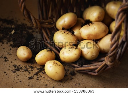 Potatoes in a wicker basket with soil. Rustic style image - country farm concept.