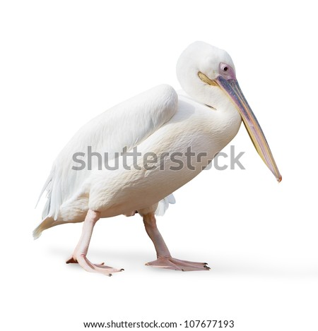 Potrait Of A Pelican On White Background
