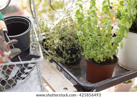 Potted organic garden herbs in the balcony for aromatic and cook