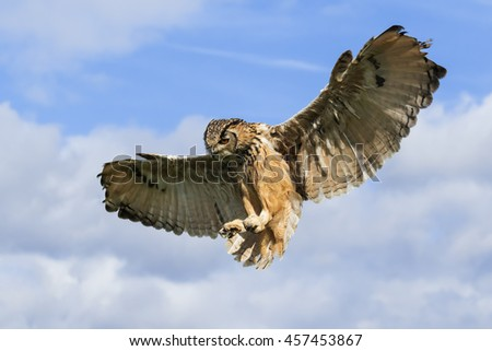 Pouncing eagle owl. A magnificent Bengal eagle owl prepares to pounce.